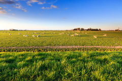 Shees standing in a grassland in Holland Stock Photography