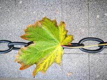 Sheet and chain. Maple leaf fell on a chain Royalty Free Stock Image
