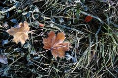 A sheet covered with frost or radiation frost. The autumn colors are red and green with the dust of icy white crystals in the sun royalty free stock photos