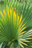 Sheet of a fan palm tree.Trachycarpus fortunei. Stock Image