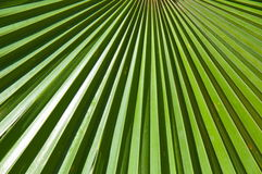 Sheet of a fan palm tree.Trachycarpus fortunei. Royalty Free Stock Images