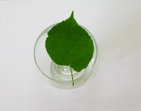 Sheet in a glass. Green sheet of a tree on a glass glass Royalty Free Stock Images