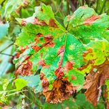 A dangerous disease of grape Mildew - downy mildew  lat. Plasmo Royalty Free Stock Photography
