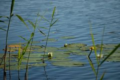 A sheet of lake glistening in the sun with a dark forest outline on the other shore. Lake reeds with flowering white lilies bouncing in the shine of the lake Royalty Free Stock Photos