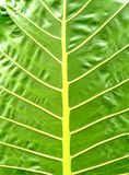 SHEET OF NATURE. Close-up of green leaf of nature exposed on a white background clearly indicating that the climate is very favorable to him, which explains the Stock Photo