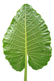 SHEET OF NATURE. Green leaf of nature exposed on a white background clearly indicating that the climate is very favorable to him, which explains the good sight Royalty Free Stock Photo