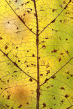 Sheet. The skeleton of the leaf on the background of autumn leaves stock photos
