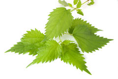Sheet of young nettles. On white background royalty free stock photos