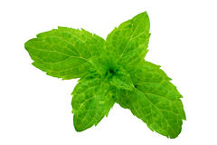 Sheets of mentha rotundifolia. Macro of outbreaks of mint leaf trimmed and isolated Stock Images