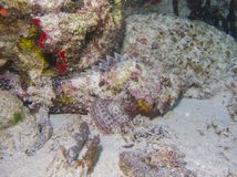 sheikh σκορπιών θέσης ψαριών EL sharm Στοκ φωτογραφίες με δικαίωμα ελεύθερης χρήσης