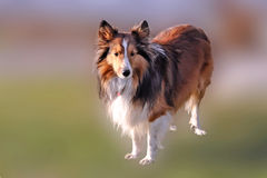 Shelby Collie. A portrait of a standing Shelby Collie royalty free stock image