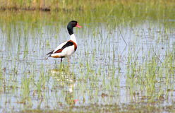 Shelduck Royalty Free Stock Photo