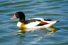 Shelduck Royalty Free Stock Photos