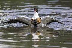 Shelduck común Pato masculino con las alas extendidas en el agua Imagenes de archivo