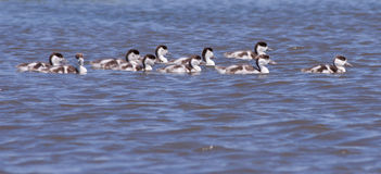 Shelduck ducklings Royalty Free Stock Photography