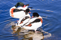 Shelduck ducks Royalty Free Stock Images