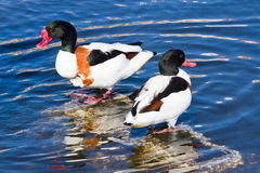 Shelduck ducks Royalty Free Stock Photo