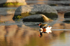 Shelduck in an evening light Royalty Free Stock Photography