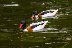 Shelduck family Royalty Free Stock Photos
