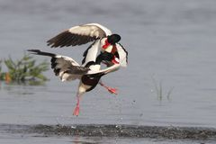 Shelduck fight Stock Images