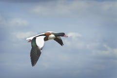 Shelduck in flight, he'll land alright Stock Photo