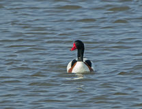 Shelduck Male Royalty Free Stock Photography