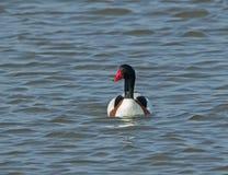 Shelduck Male. Adult male Shelduck in breeding plumage, on water Royalty Free Stock Photography