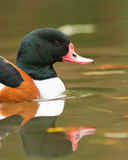 Shelduck portrait Royalty Free Stock Photos