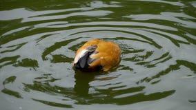 Shelduck rubicondo su acqua stock footage
