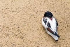 Shelduck (Schwarzweiss-Ente, Gans) entspannen sich und schlafend auf Stockfotografie