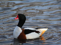 Shelduck stock image