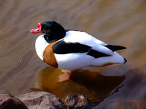 Shelduck (tadorna de Tadorna) photo libre de droits