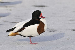 Shelduck - Tadorna tadorna Royalty Free Stock Photo
