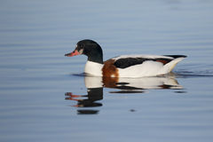 Shelduck, Tadorna Tadorna Stockfotos