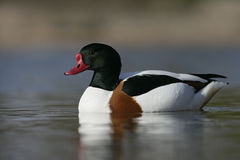 Shelduck, Tadorna tadorna Royalty Free Stock Photo