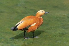 Shelduck vermeil Photo stock