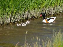 Shelduck with young ducks Royalty Free Stock Photography