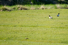 Shelducks Royalty Free Stock Photo