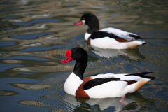 Shelducks On Water Stock Image