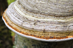 Shelf fungus Stock Image