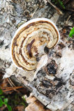Shelf fungus Stock Photos