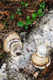 Shelf fungus Royalty Free Stock Photos