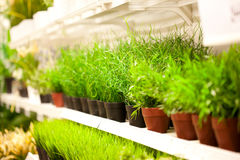 Shelf of green grass in pots at plants store Royalty Free Stock Image