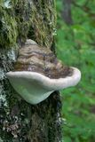 Shelf Mushroom growing on Lichen covered tree Royalty Free Stock Photos