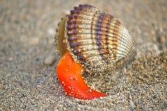 Shell áspero do mar do berbigão fora de sua armadura Imagem de Stock Royalty Free
