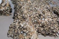 Shell ścierwo wtykający na skałach Fotografia Stock