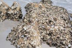 Shell ścierwo wtykający na skałach Obraz Royalty Free