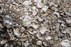 Shell ścierwo wtykający na skałach Obrazy Royalty Free