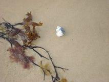 Shell και φύκια στην αμμώδη παραλία στοκ εικόνα με δικαίωμα ελεύθερης χρήσης