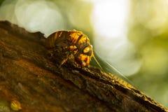 Shell μιας ακρίδας στοκ εικόνα